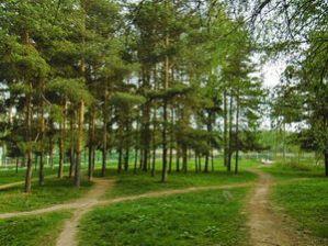 Сосны у Школьного озера Зеленоград 10 микрорайон